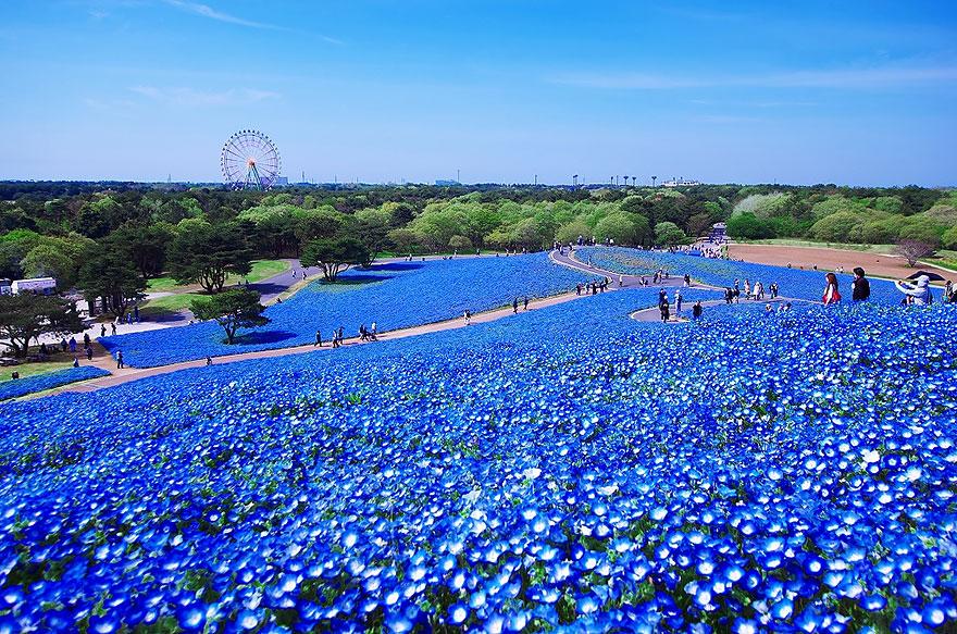 perierga.gr - Τα μαγευτικά γαλάζια λιβάδια της Ιαπωνίας