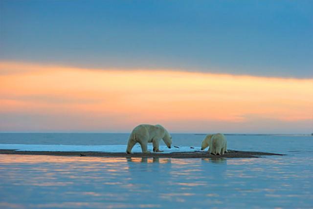 Perierga.gr - Ένα ηλιοβασίλεμα παρέα με πολικές αρκούδες