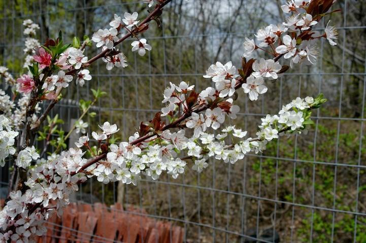 perierga.gr - Παράξενο δέντρο παράγει 40 διαφορετικά φρούτα!
