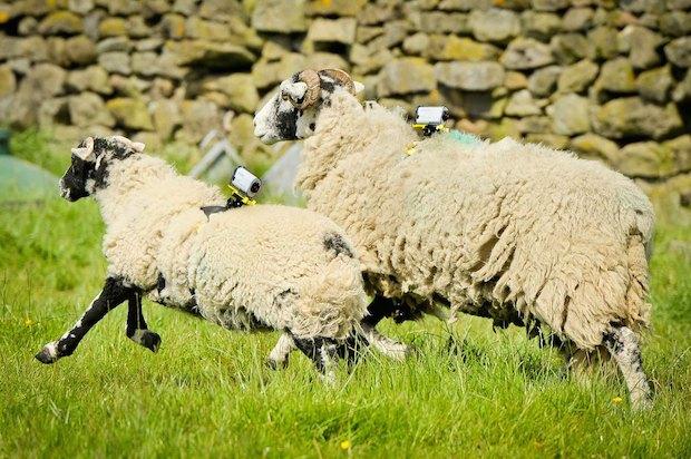 perierga.gr - Πρόβατα με κάμερες βιντεοσκοπούν τον ποδηλατικό Γύρο της Γαλλίας!