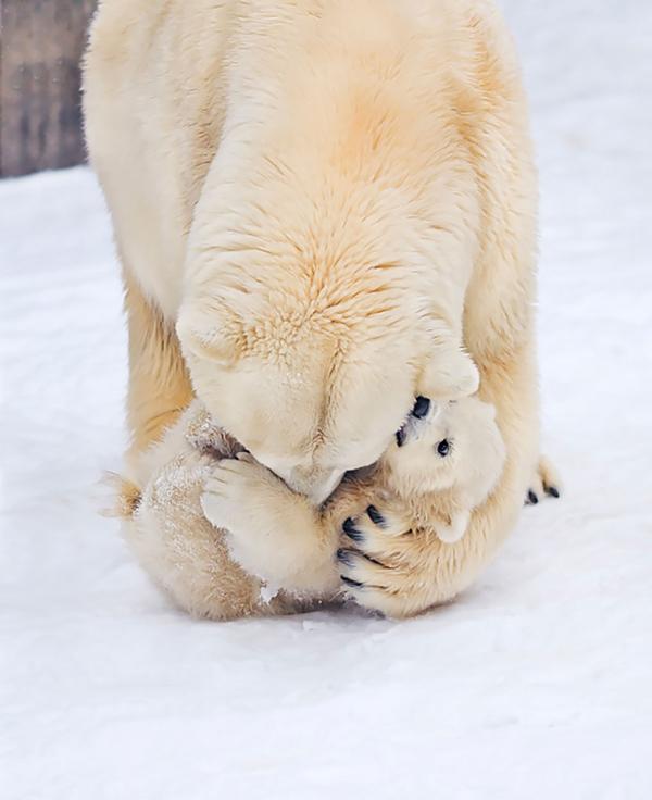 perierga.gr - Μαμάδες αρκούδες ποζάρουν με τα μωρά τους!
