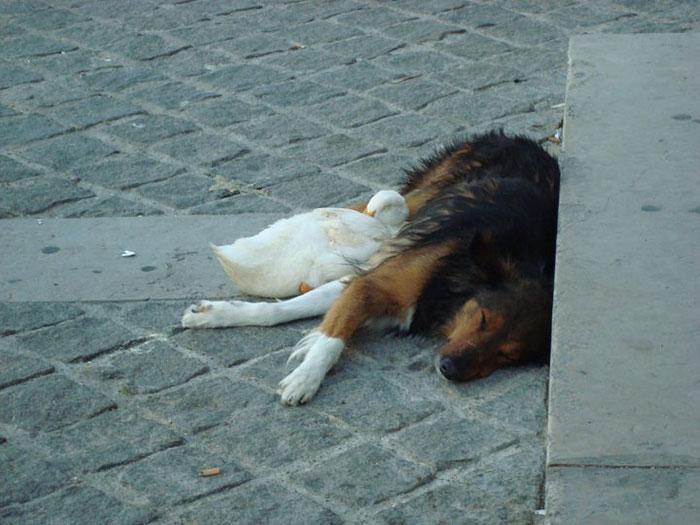perierga.gr - Πάπια & σκύλος κάνουν καλή παρέα στο Παρίσι!