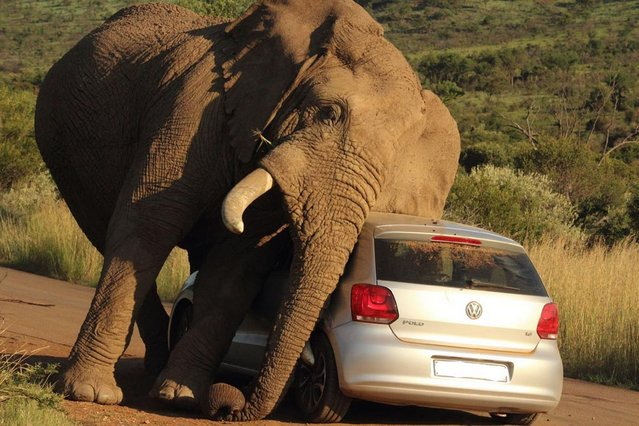 perierga.gr - Ελέφαντας VS αυτοκινήτου!