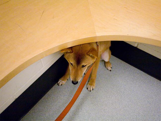 perierga.gr - Σκυλιά προσπαθούν να κρυφτούν από τον κτηνίατρο!