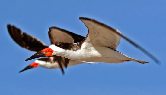 perierga.gr - 10 πτηνά με πολύ παράξενο ράμφος!