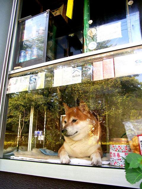 perierga.gr - Σκύλος εξυπηρετεί πελάτες σε περίπτερο!