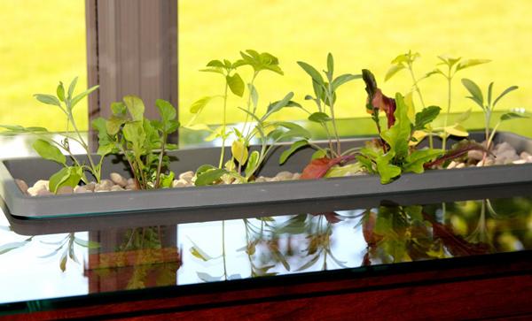 perierga.gr - «Ζωντανό» τραπέζι καλλιεργεί λαχανικά!