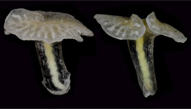perierga.gr - Ανακαλύφθηκε μυστηριώδες θαλάσσιο ζώο-μανιτάρι