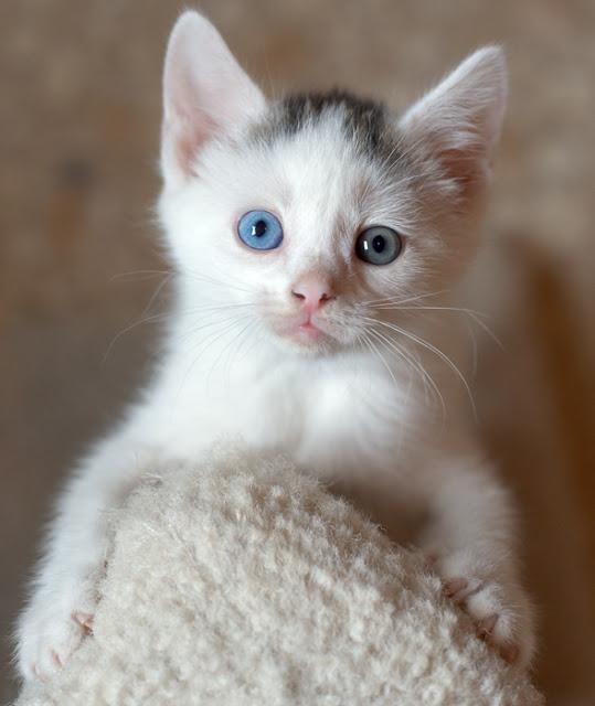perierga.gr - Πανέμορφες γάτες με διαφορετικό χρώμα στα μάτια!