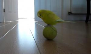 perierga.gr - Απίθανο παπαγαλάκι… ακροβάτης! (βίντεο)