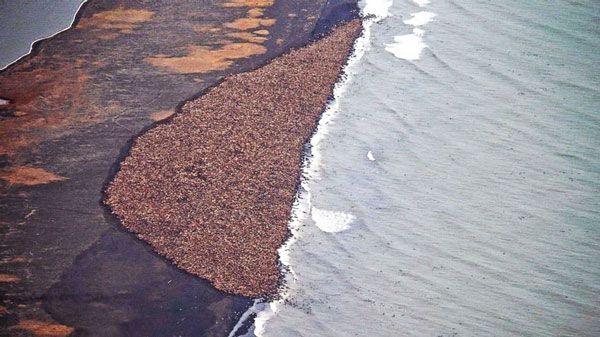 perierga.gr - 35.000 θαλάσσιοι ελέφαντες... βγήκαν στην ξηρά της Αλάσκας!