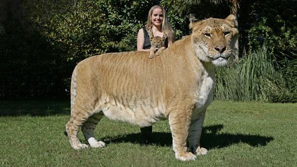 perierga.gr - Το μεγαλύτερο λιοντάρι στον κόσμο!