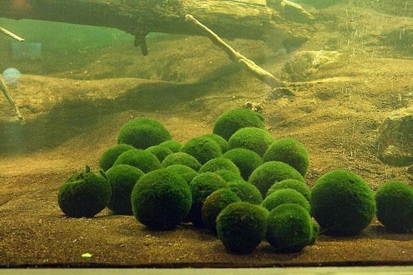 """perierga.gr - Οι παράξενες """"πράσινες"""" μπάλες της λίμνης Mývatn!"""