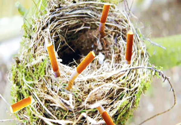 perierga.gr - Γιατί τα πουλιά βάζουν αποτσίγαρα στις φωλιές τους;
