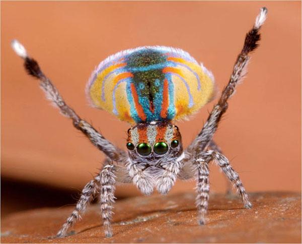 tilestwra.gr - Aσυνήθιστη αυστραλιανή αράχνη-κόσμημα!