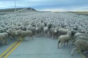Perierga.gr - Τόσα πρόβατα δεν έχετε ξαναδεί!