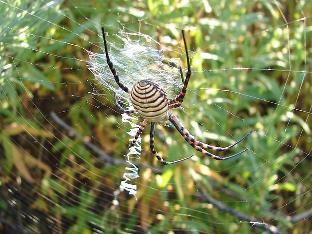 perierga.gr - Αράχνες διακοσμούν περίτεχνα τους ιστούς τους!