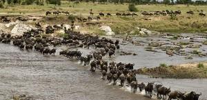 perierga.gr - 1,5 εκατομμύριο άγρια ζώα διασχίζουν το ποτάμι!