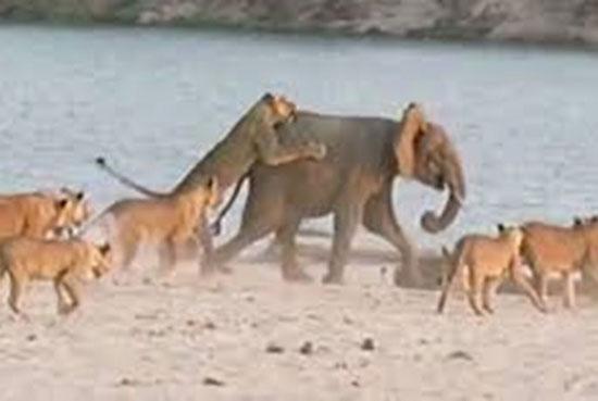 Perierga.gr - Το γενναίο ελεφαντάκι που νίκησε 14 λιοντάρια!