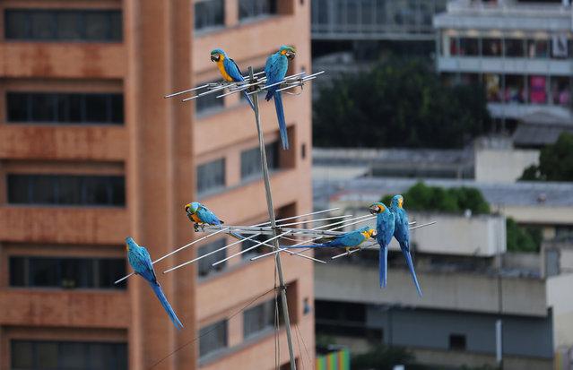 perierga.gr - Οι αγαπημένοι παπαγάλοι του Καράκας!