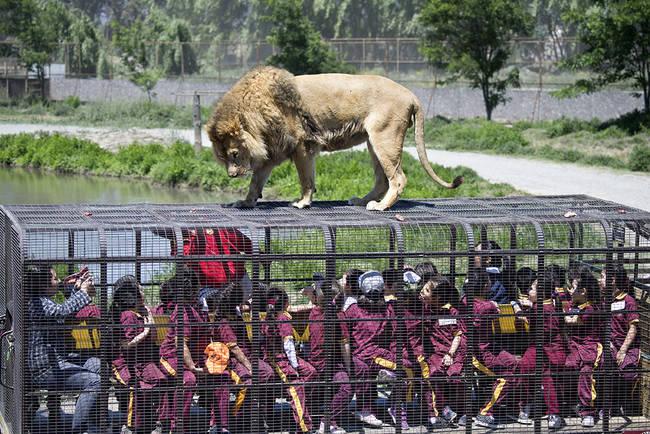 perierga.gr - Μια διαφορετική βόλτα με λιοντάρια!