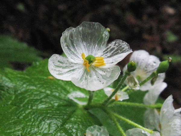 perierga.gr - Το παράξενο λουλούδι που γίνεται διάφανο όταν βραχεί!