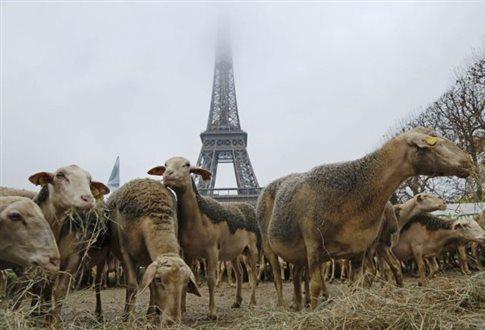 Perierga.gr - Πρόβατα διαδήλωσαν κατά των λύκων στον Πύργο του Άιφελ