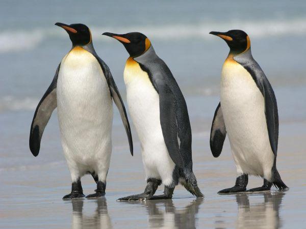 Perierga.gr - Πώς αντέχουν το πολικό ψύχος οι πιγκουίνοι