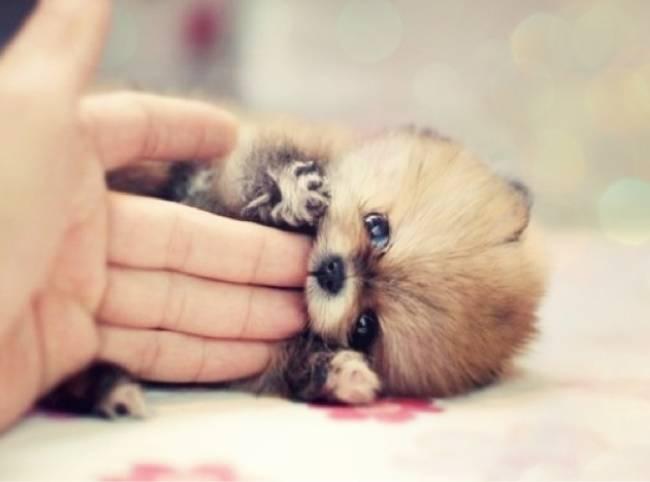 perierga.gr - Σκυλάκια... μινιατούρες θα κλέψουν την καρδιά σας!
