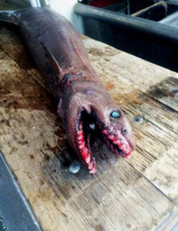 perierga.gr - Ψάρεψαν «προϊστορικό» καρχαρία με 300 δόντια!