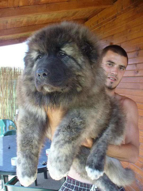 perierga.gr - Κουτάβια που μοιάζουν με… αρκουδάκια!