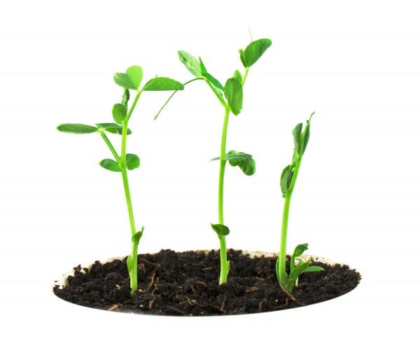 "perierga.gr - Οι ""μαμάδες"" φυτά διδάσκουν στους σπόρους πώς να καταλαβαίνουν τις εποχές!"