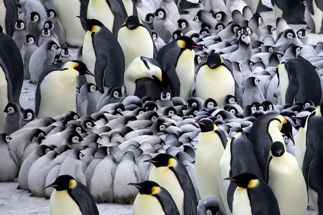 perierga.gr - Οι πιγκουίνοι ζεσταίνουν τα μωρά τους!