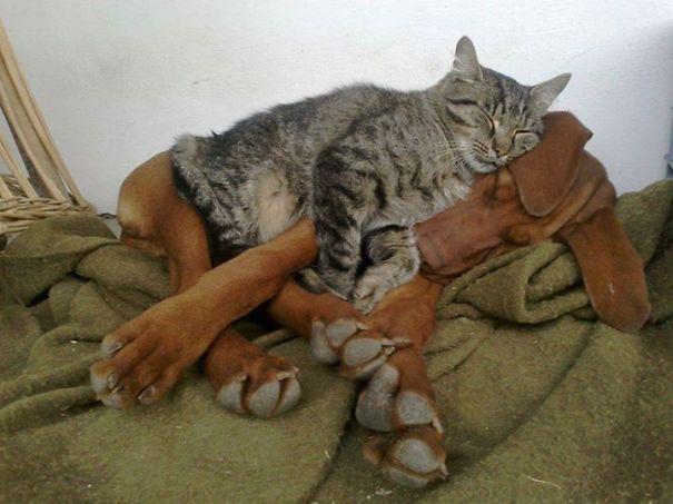 perierga.gr - Γάτες χρησιμοποιούν τους σκύλους σαν μαξιλάρια!