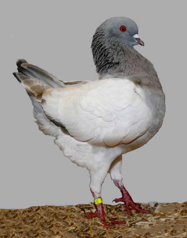 perierga.gr - Παράξενα είδη περιστεριών στον κόσμο!