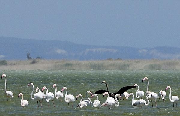 perierga.gr - Στην Κύπρο εθεάθη το «μοναδικό στον κόσμο μαύρο φλαμίνγκο»!
