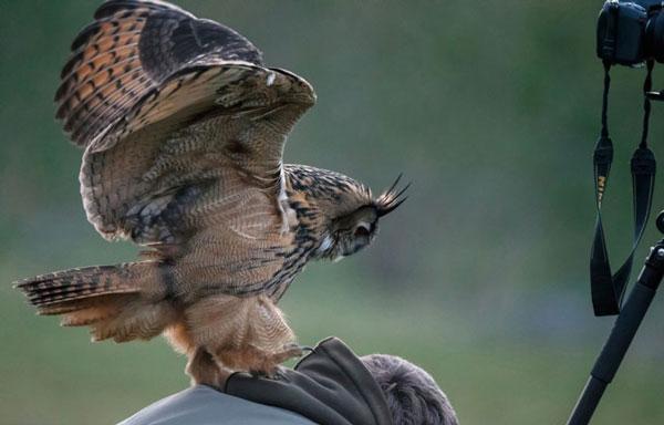 perierga.gr - Η παράξενη κουκουβάγια της Ολλανδίας!