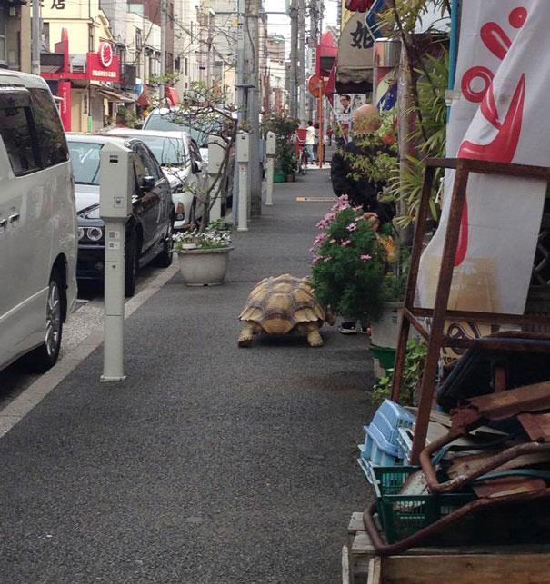 perierga.gr - Βόλτα με τη χελώνα του στους δρόμους του Τόκιο!
