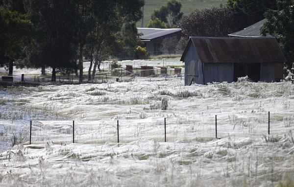 perierga.gr- Ιστοί αράχνης... κάλυψαν χωράφια!