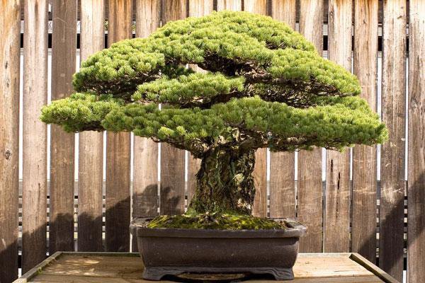 perierga.gr - Το 390 ετών μπονσάι που επιβίωσε από τη Χιροσίμα!