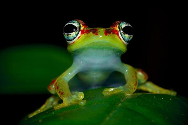 perierga.gr - Ο απίθανος βάτραχος με τα πολύχρωμα μάτια!