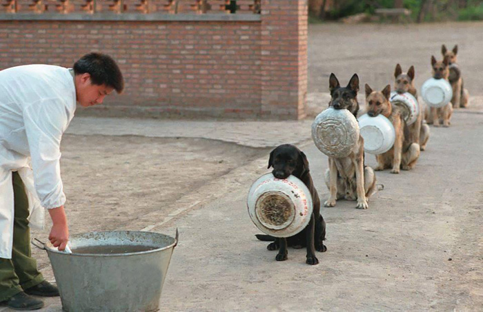 perierga.gr - Οι αστυνομικοί σκύλοι στην Κίνα περιμένουν στη σειρά για το φαγητό τους!