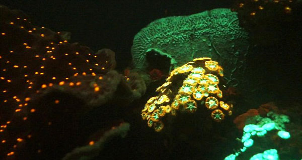 "perierga.gr - ""Ψυχεδελικά"" κοράλλια στην Ερυθρά Θάλασσα!"