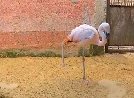 perierga.gr - Φλαμίνγκο με προσθετικό πόδι!
