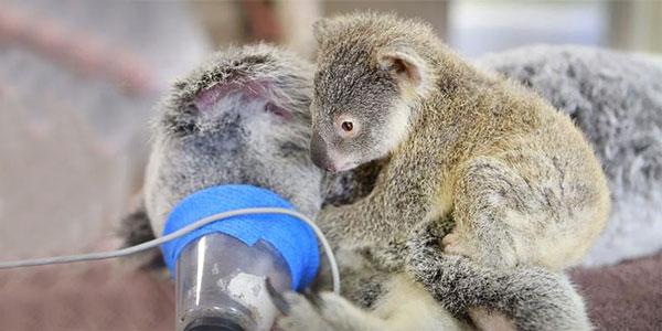 perierga.gr - Μωρό κοάλα αγκαλιάζει τη μαμά του την ώρα της εγχείρησης!