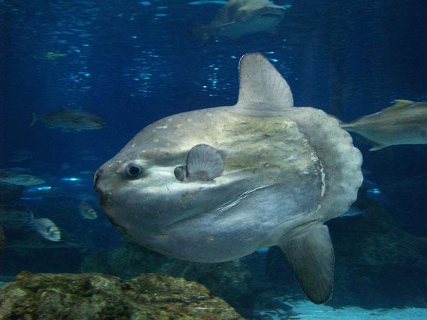 perierga.gr - To μεγαλύτερο ψάρι του ωκεανού!