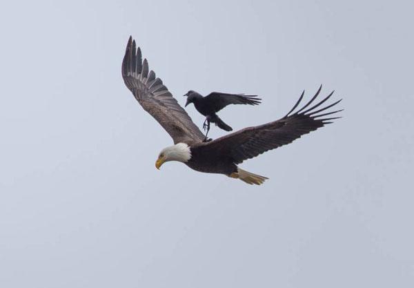 perierga.gr - Πτήση πάνω σε έναν αετό!