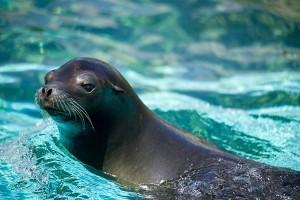 perierga.gr - Δύτες δέχονται επίθεση... φιλίας από θαλάσσια λιοντάρια!