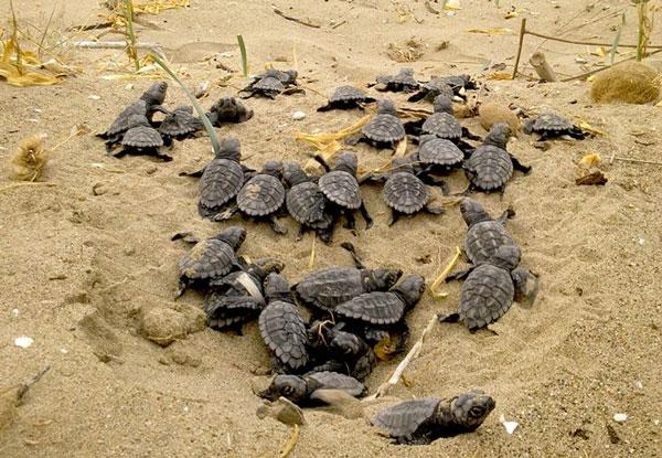 Perierga.gr - Νεογέννητες χελώνες καρέτα καρέτα - Θα ενθουσιαστείτε (βίντεο)