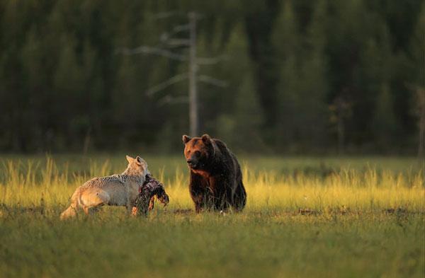 perierga.gr - Φωτογράφος απαθανάτισε ασυνήθιστη φιλία λύκου & αρκούδας!